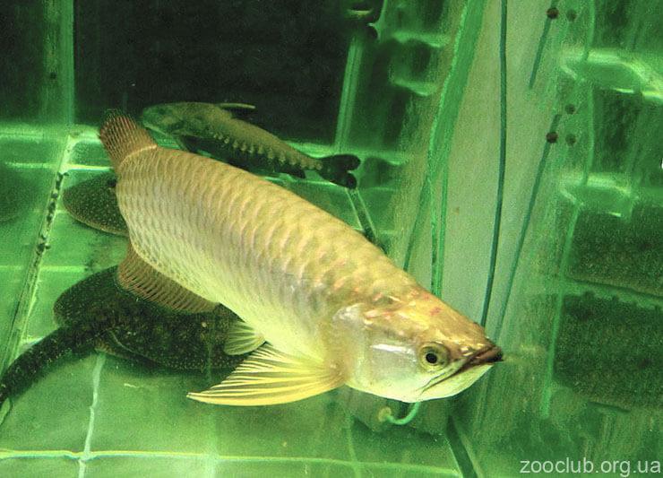 Рыба аравана черная