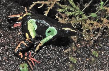 Мадагаскарська прикрашена жаба