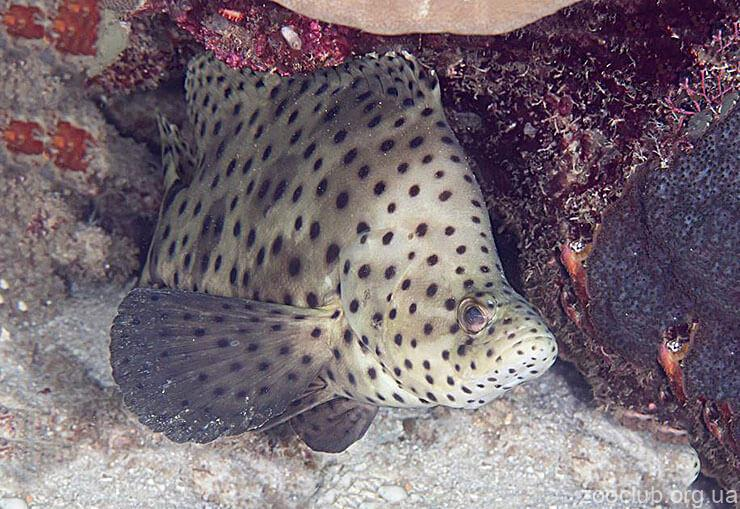 Фото групера леопардового