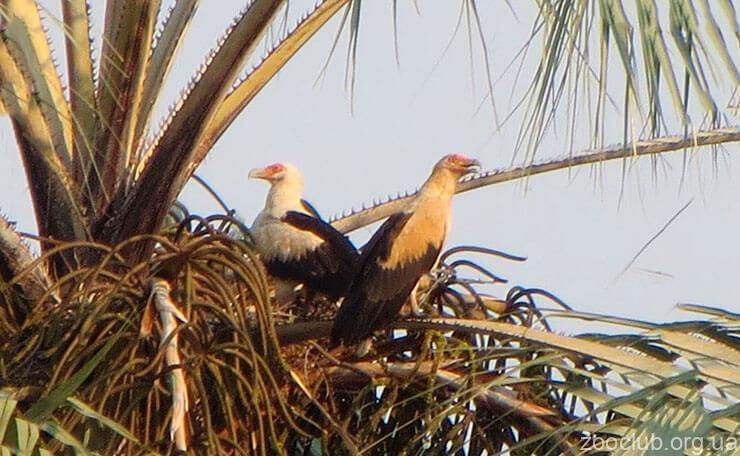 Фото грифа пальмовый