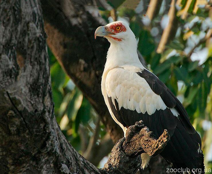 Фото Gypohierax angolensis