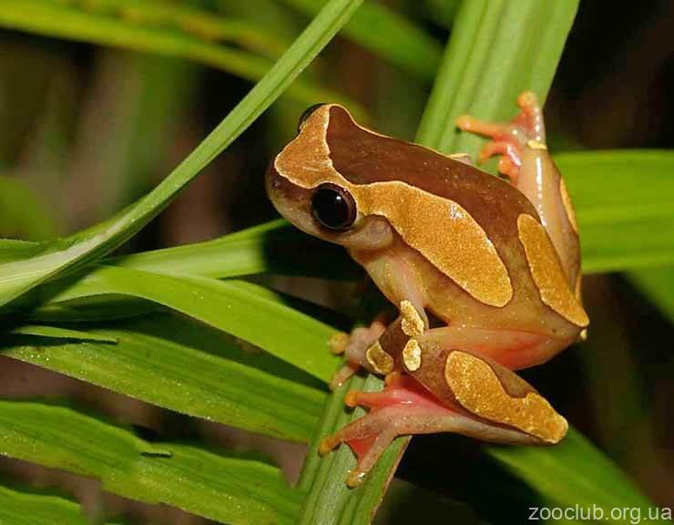 Фото Dendropsophus leucophyllatus