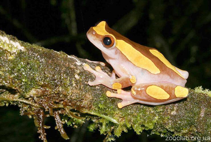 Фото суринамской лягушки-клоуна