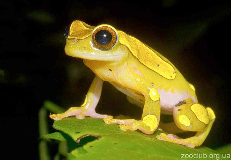 Суринамская лягушка-клоун фото