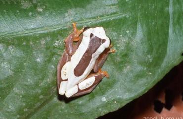 Пегая квакша, или суринамская лягушка-клоун