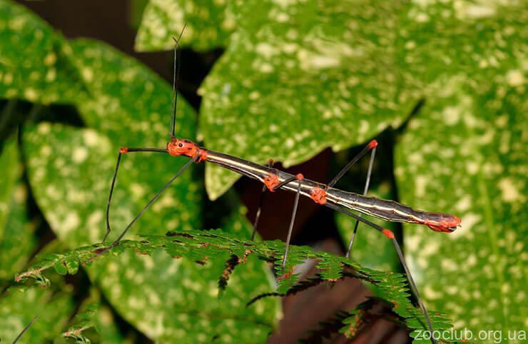 Фото Oreophoetes peruana