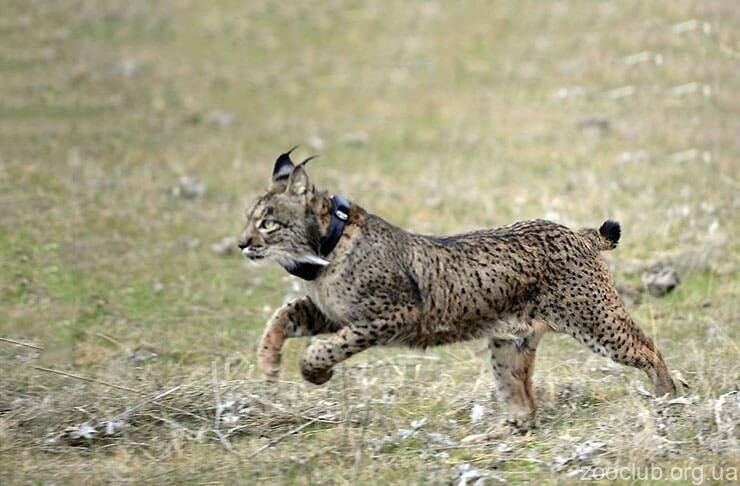 Фото пиренейской рыси