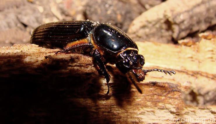 Фото сахарного жука
