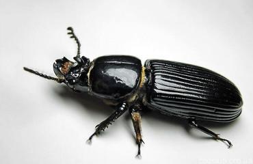 Сахарный жук Odontotaenius disjunctus