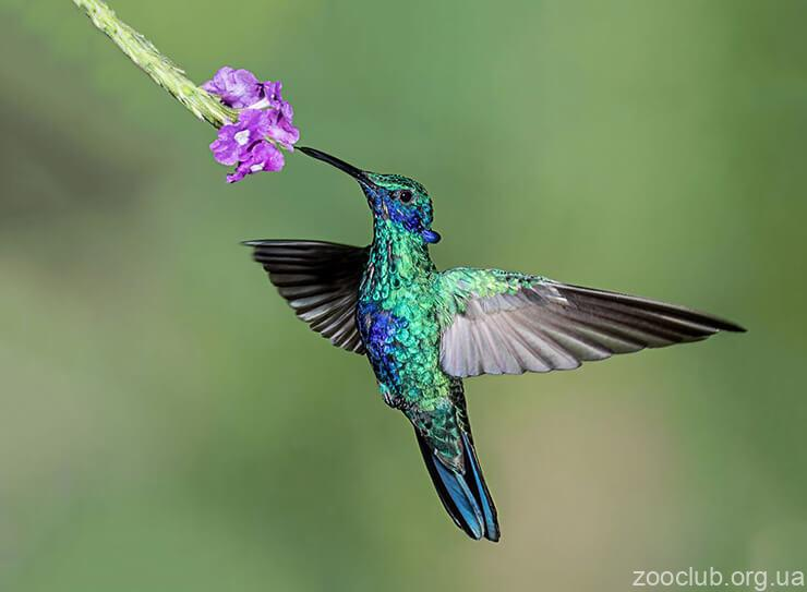 Сверкающий колибри фото