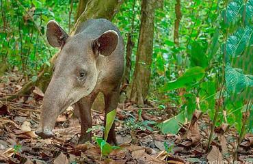 Тапир Бэрда, или центральноамериканский тапир