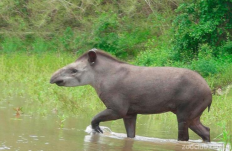 Тапир равнинный фото