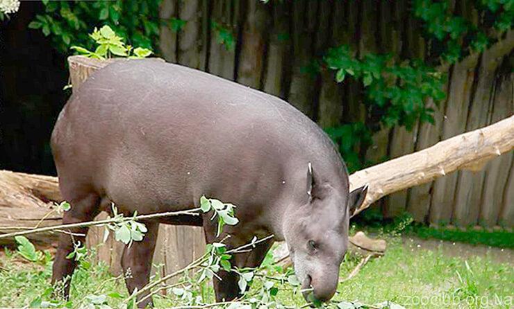 Тапир бразильский фото