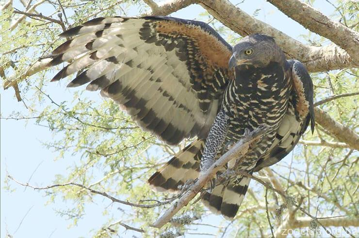 Венценосный орел фото