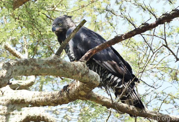 Фото венценосного орла
