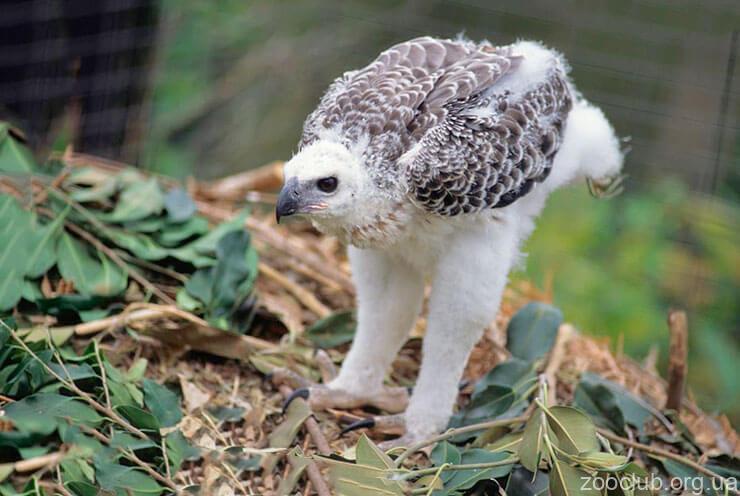 Фото орла венценосного
