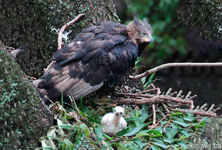 Гнездо венценосного орла