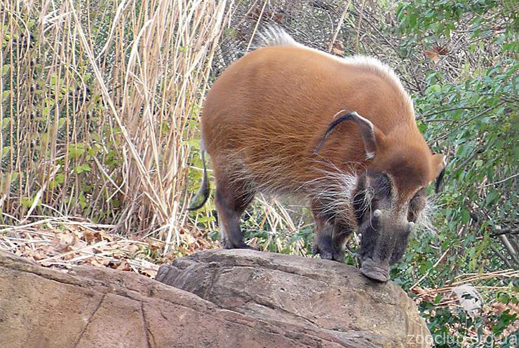 Фото Африканской кистеухой свиньи
