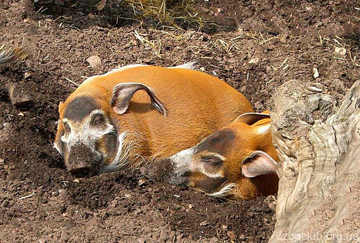 Африканская кистеухая свинья фото