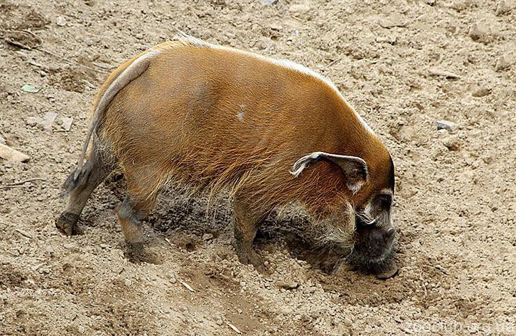 Фото речной свиньи