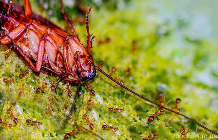 Фото красного таракана