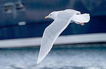 Большая полярная чайка, или бургомистр