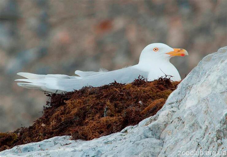Фото большой полярной чайки