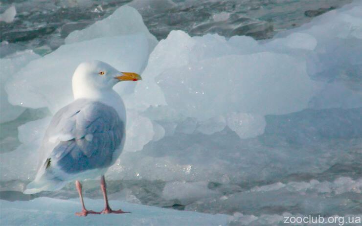 Большая полярная чайка фото
