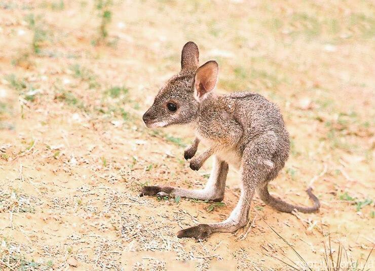 детёныш гигантского кенгуру