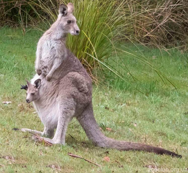 Гигантский кенгуру фото