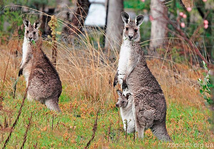 Фото гигантского кенгуру
