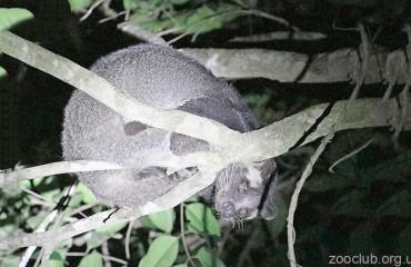 Гімалайська цівета