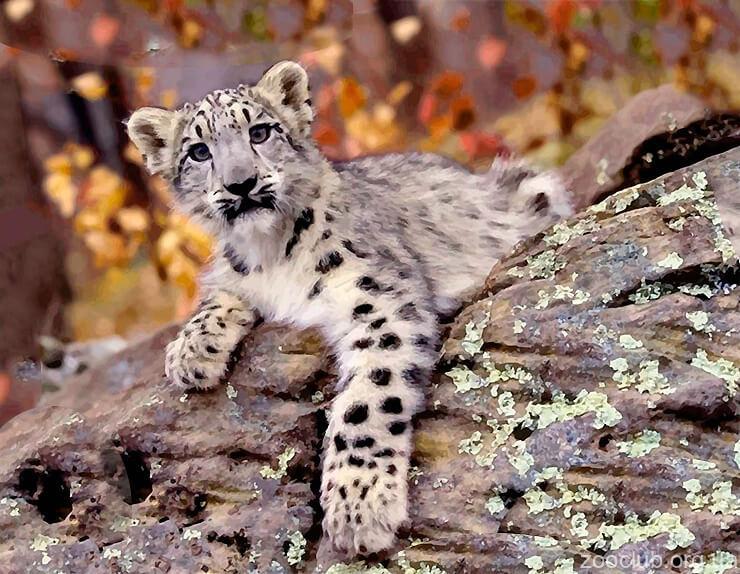 Детёныш индийского леопарда