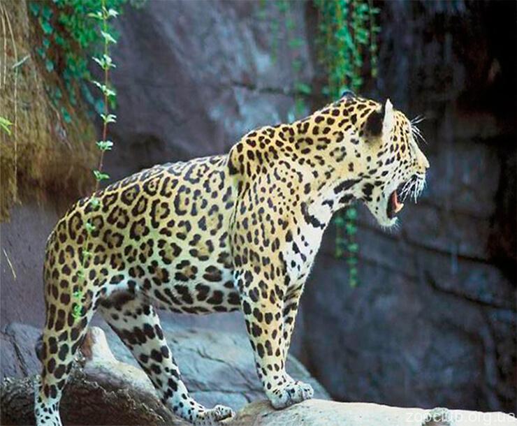 Индийский леопард в домашних условиях