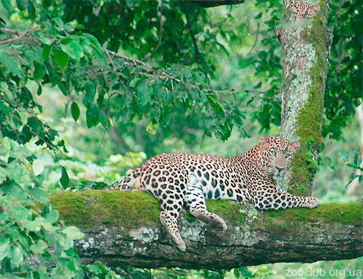 Картинка с индийским леопардом