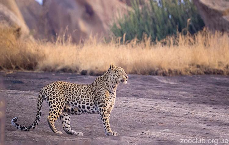 Фото индийского леопарда
