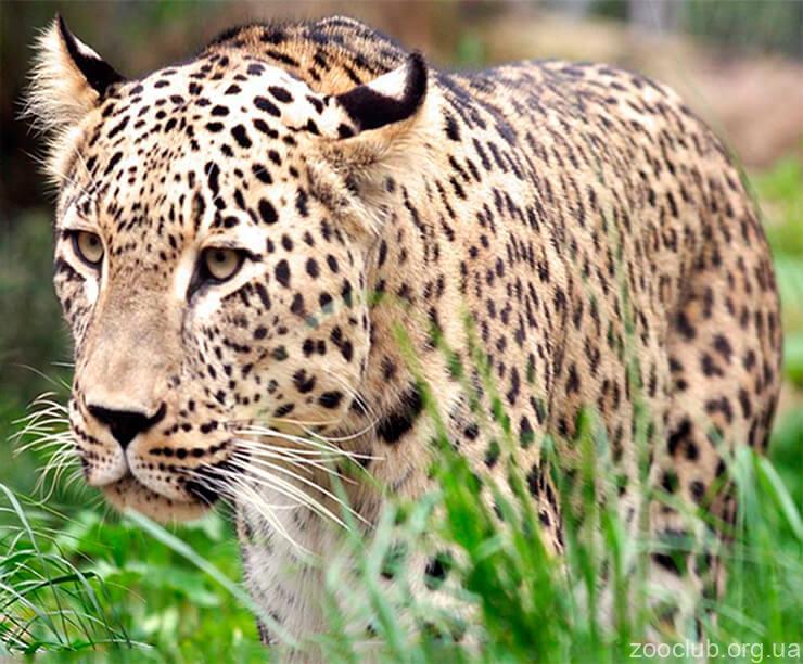 Индийский леопард фото
