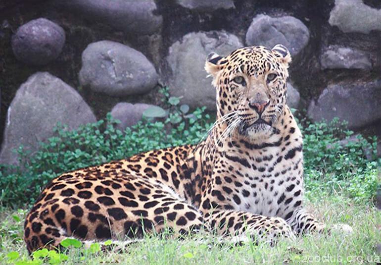 Фото Panthera pardus fusca