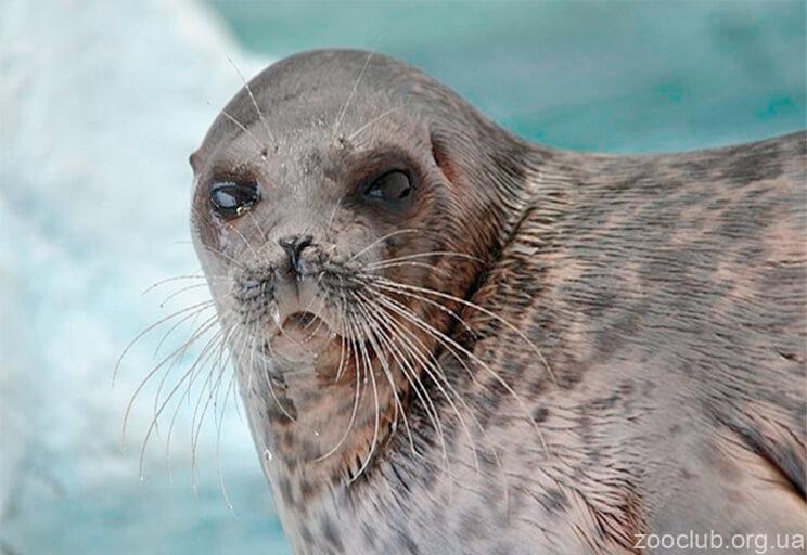 Кольчатый тюлень фото