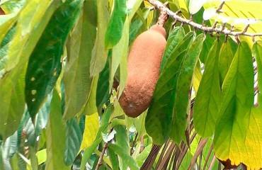 Як виростити купуасу