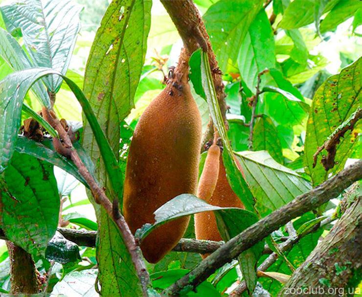Плоды купуасу