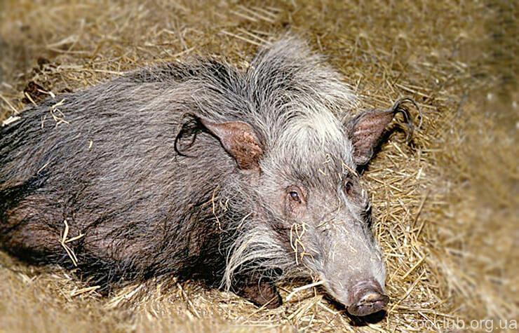 Свинья кустарниковая фото