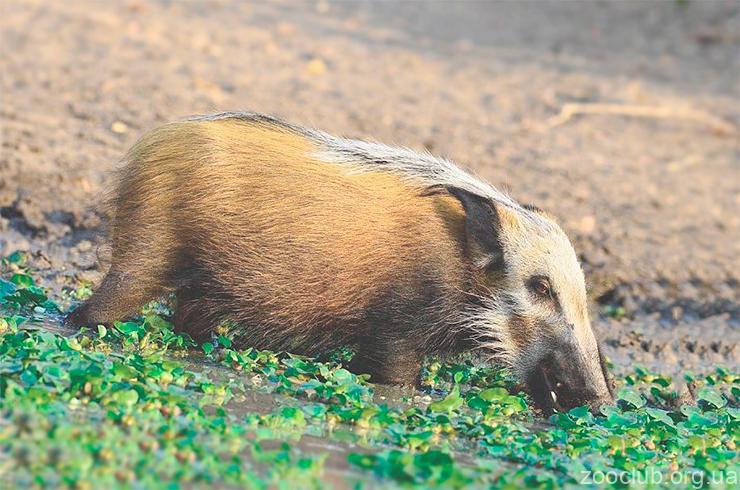 Кустарниковая свинья фото
