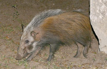 Кустарниковая свинья