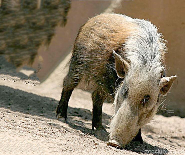 Фото кустарниковой свиньи
