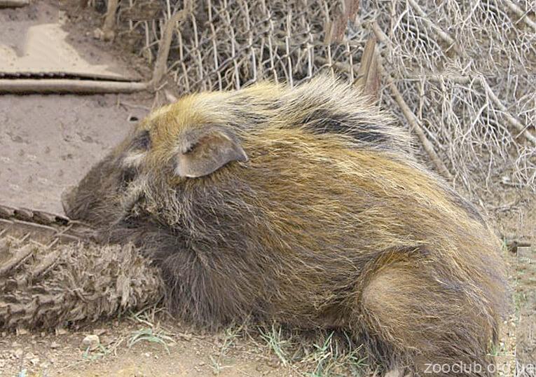 Фото свиньи кустарниковой