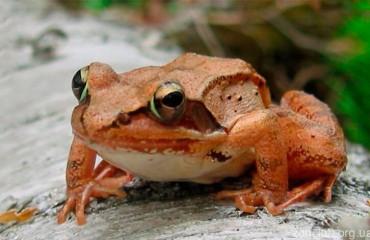 Лісова жаба