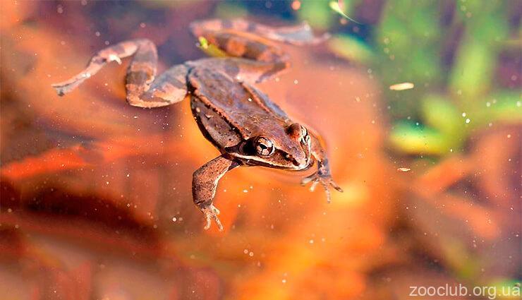 Фото лягушки лесной