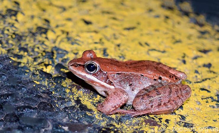 Фото лесной лягушки