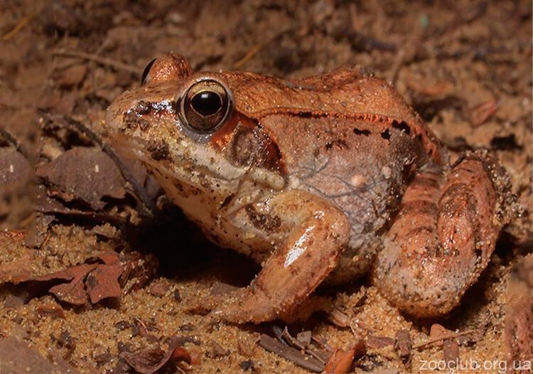 Лесная лягушка фото